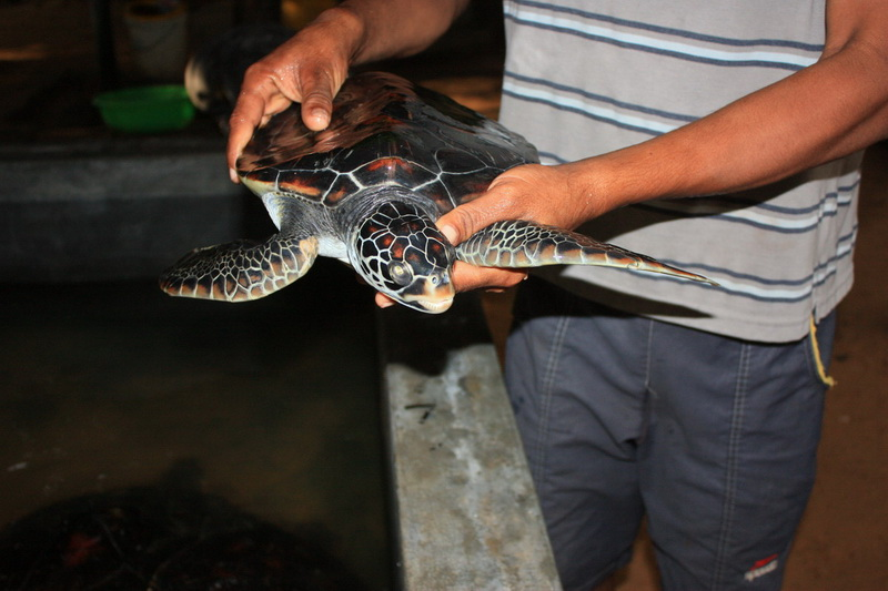 Sri Lanka, Kosgoda, Turtle Farm