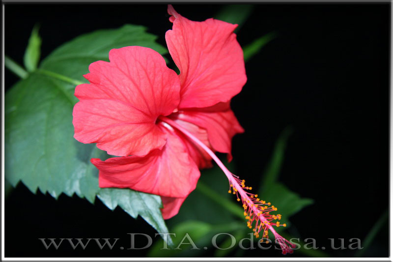 Hibiscus 'Unknown Hibrid'