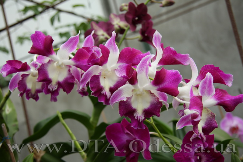 Dendrobium 'King Dragon'