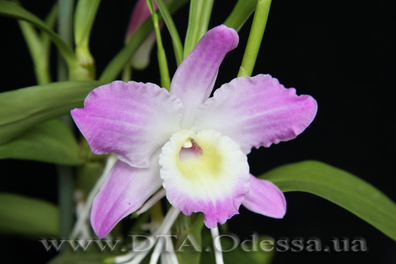 Dendrobium nobile Unknown Hibrid