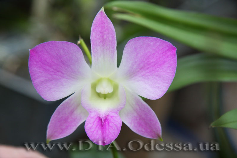 Dendrobium, Unknown Hibrid