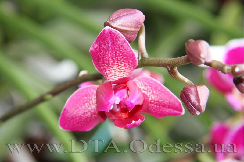 Phalaenopsis, 'Fureshing Wine Peloric'