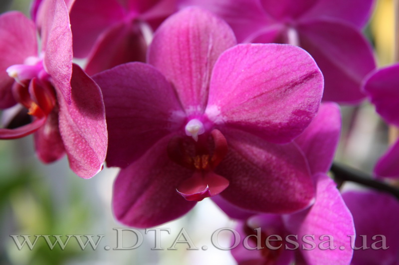 Phalaenopsis 'Sogo Grape'
