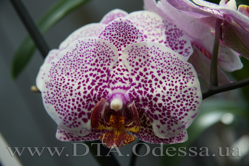 "Phalaenopsis, orchid Dtps.Acker' s Sweetie 'Dragon Tree Maple'"" title="