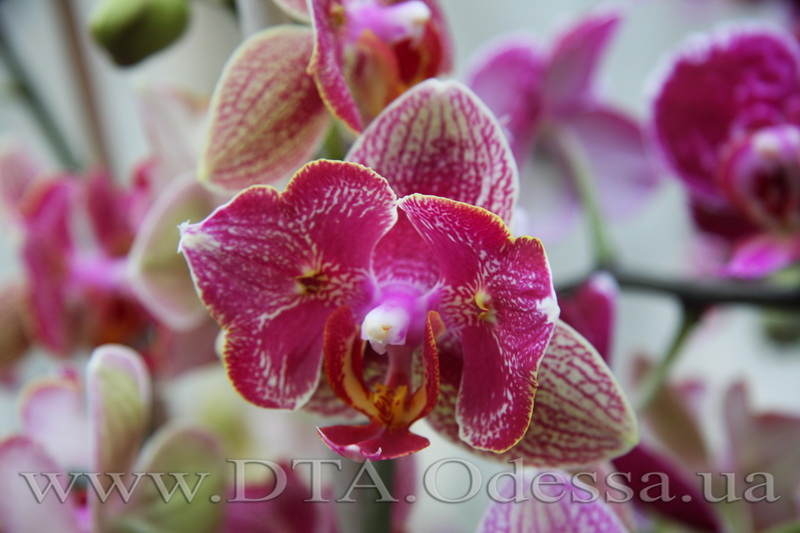 Phalaenopsis, Unknown Hibrid