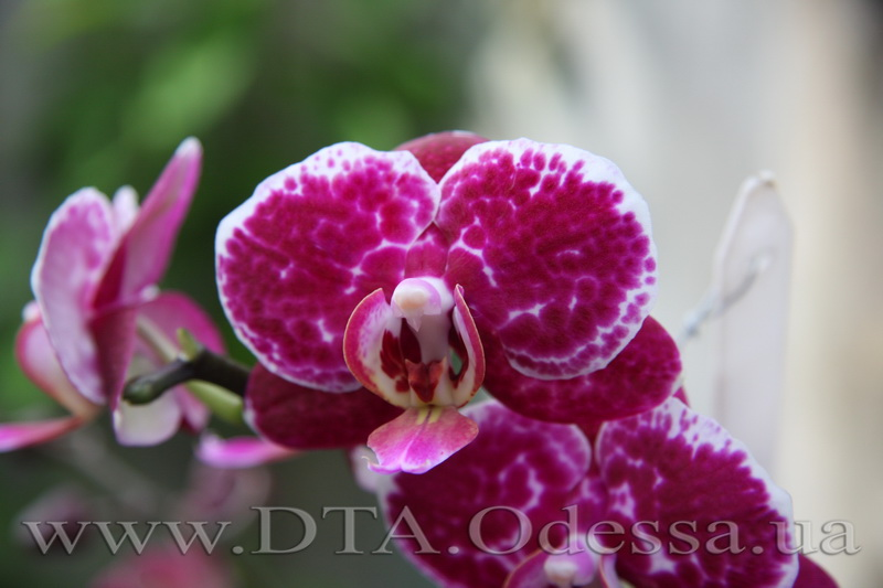 Phalaenopsis, King David