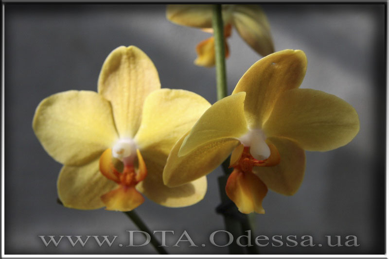 Phalaenopsis Little Emperors 'Orange'