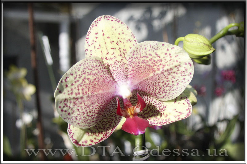 Phalaenopsis 'Unknown Hibrid'