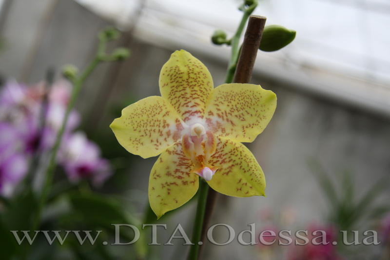 Phalaenopsis Brother Lawrence X Phal. Taipei Gold