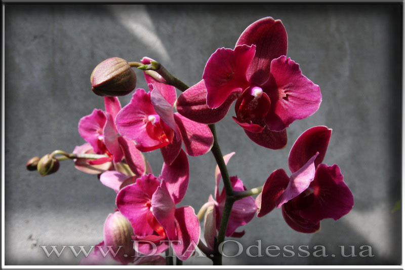 Phalaenopsis 'Fire Fighter'