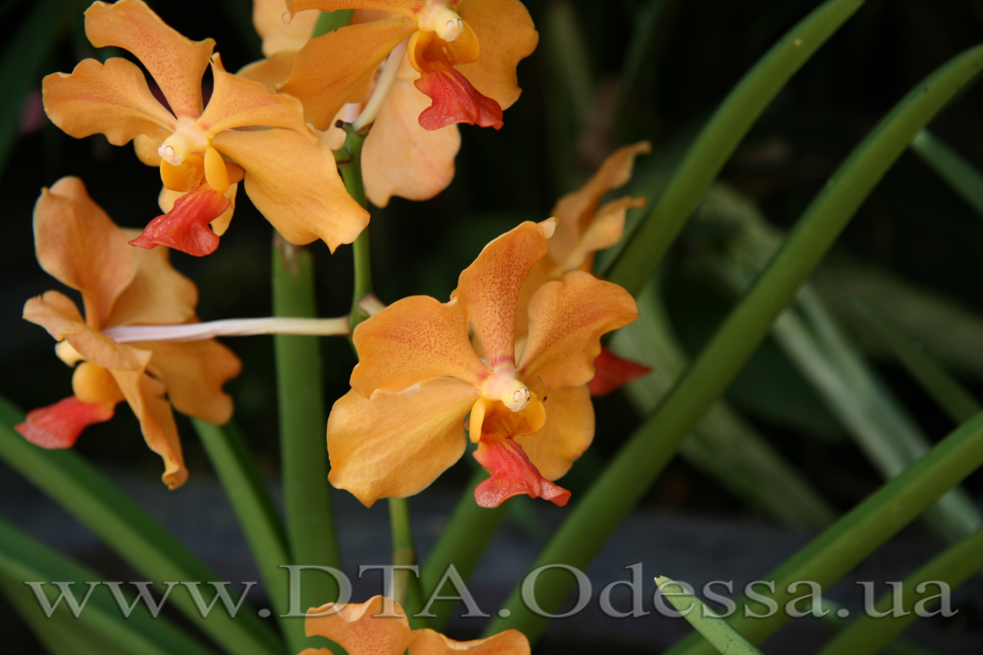 Vanda, Unknown Hibrid
